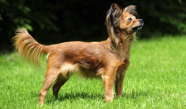 Toy terrier probleeme liigestega